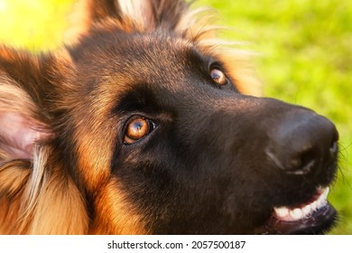 A portrait of a charming German shepherd dog, close-up of devoted eyes in which the owner is reflected.