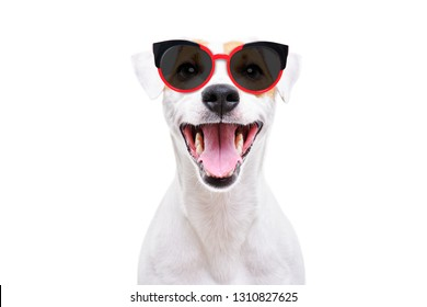 Portrait of a cheerful dog Jack Russell Terrier in sunglasses isolated on white background