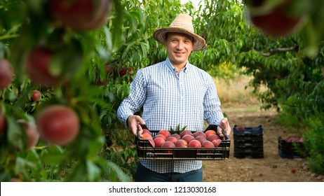 Portrait of cheerful  man horticulturist showing crate with harvest of peaches in garden