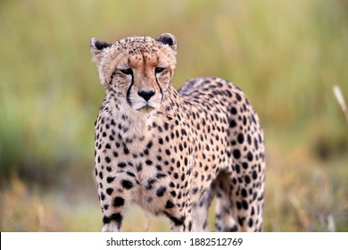 Portrait of Cheetah, Acinonyx jubatus  walking in arid savanna. Typical Kalahari environment a few weeks after green season. On safari in valley of Nossob river, Kgalagadi transfrontier park, Botswana