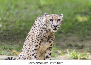 Portrait of a cheetah growling