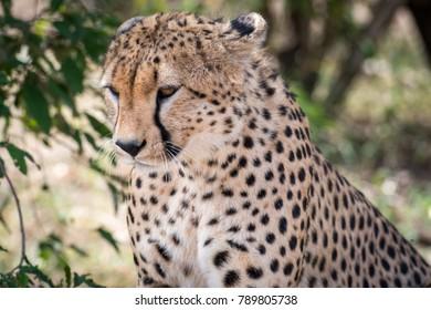 Portrait of a cheetah in Masai Mara, Kenya