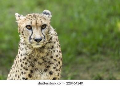 Portrait of a cheetah staring
