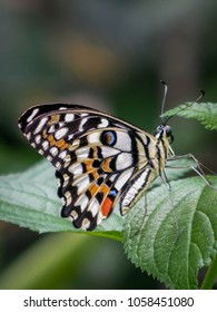Portrait of a Chequered Swallowtail