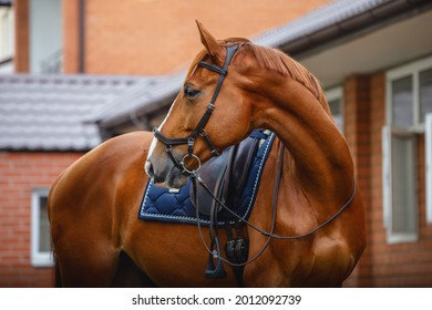 portrait of chestnut dressage gelding horse with bridle, pad and saddle posing near red brick stable wall