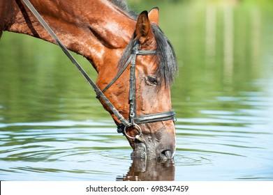 Porträt von Kastanienpferd Trinkwasser im Fluss. Im Freien im Sommer horizontales Farbbild.