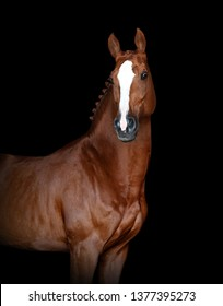 portrait of chestnut horse isolated on black background