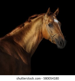 Portrait of a chestnut horse isolated on black background