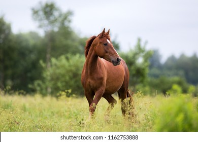 portrait of a chestnut horse in a summer field