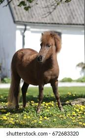 Portrait of chestnut Shetland Pony