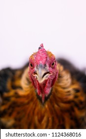 Portrait of a chicken with brown feathers close-up