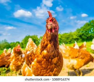 Portrait of a chicken on a sunny day