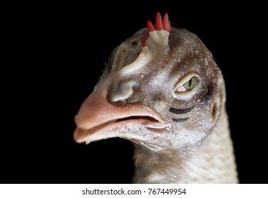 Portrait of chicken painted as warriors. Head of the fighting poultry.