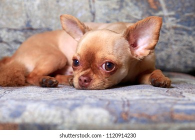 Portrait of a chihuahua dog lying on a sofa