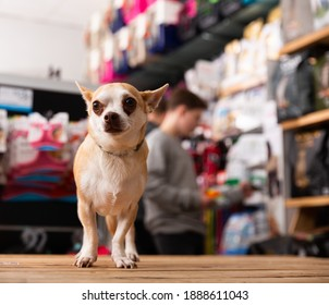 Portrait of Chihuahua dog in a pet store. High quality photo
