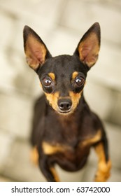 Portrait of a chihuahua dog posing in front of the camera
