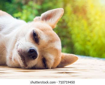 Portrait of a Chihuahua dog sleeping on nature background.