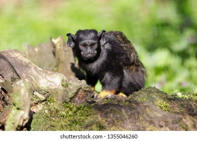 Portrait of of the child red-handed midas tamarin New World monkey. Photography of nature and wildlife.