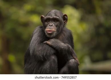 portrait of Chimpanzee
