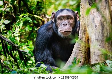 Portrait of a chimpanzee from Kibale Forest Uganda