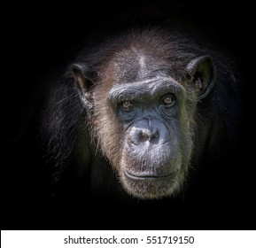 Portrait of chimpanzees.