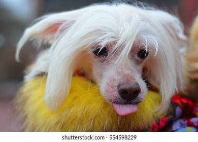 Portrait of chinese crested dog - copy space