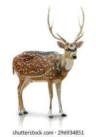 A portrait of a Chital, Spotted deer isolated in white background