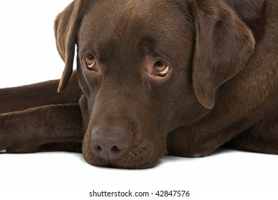 Portrait of a chocolate or dark brown Labrador dog on a white background