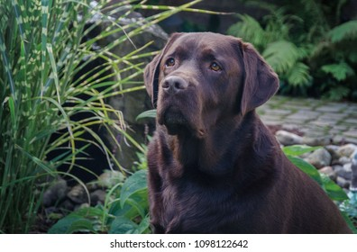 Portrait of a Chocolate Lab