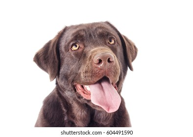 Portrait of a chocolate labrador dog looking