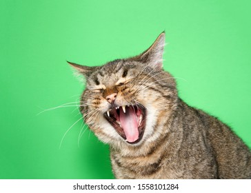 Portrait of a chubby gray and brown tabby cat with mouth wide open, eyes closed. Appears to be laughing, crying or Yelling. Green background with copy space