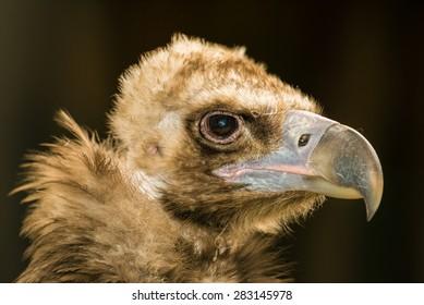 Portrait of cinereous vulture (Aegypius monachus) on black background