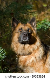 A portrait close up of the German shepherd (dog) in forest.
