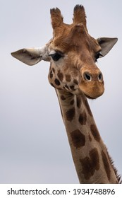 portrait close up of a giraffe