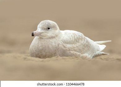 Portrait close up of a glaucous gull Larus hyperboreus on the Dutch coast, a rare visitor as seen here in Scheveningen, the Netherlands.