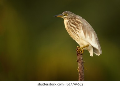 Portrait, close up photo of wading bird Indian Pond-heron Ardeola grayii in beautiful light, perched on top of stake.Art view.Bright yellow eyes.Abstract blurred green and brown background. Sri Lanka.