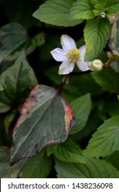 Portrait close up photography of mint and houttuynia cordata blooming