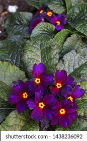 Portrait close up photography of purple and yellow primrose plant blooming