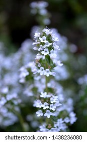 Portrait close up photography of thyme herb plant flowering