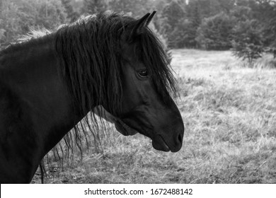 Portrait close up of wild horse with long mane. Black-and-White photo