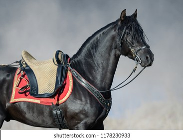 Portrait closeup of black Spanish horse with portugal saddle in sunrise fog.