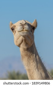 Portrait Close-up of a desert dromedary camel facial expression with its mouth and teeth showing in Middle East in the United Arab Emirates . Dromedary camel (Camelus dromedarius