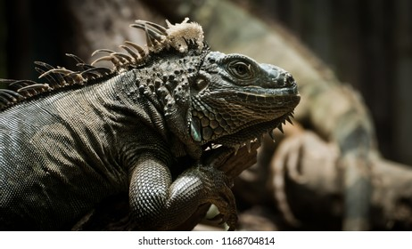 Portrait close-up of Green Iguana reptile in nature, exotic wild dragon