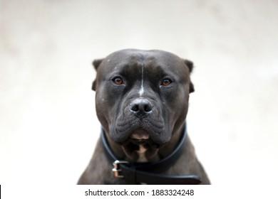 Portrait closeup head shot of an adult american pitbull