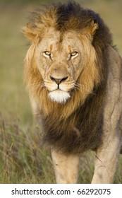 A portrait closeup of a large African black maned lion.