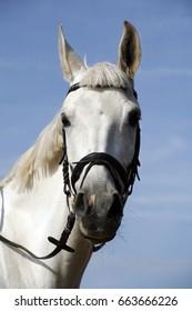 Portrait closeup of a purebred show jumping horse