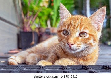 portrait close-up resting on the terrace of a small red-haired kitten with an angelic face. cat hunter in camp.