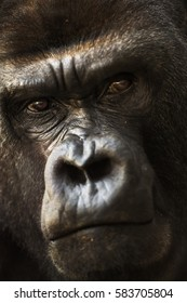 Portrait of a close-up of a silvery back gorilla.