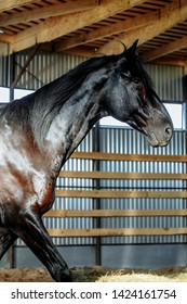 Portrait closeup of a young black horse indoor. Horsemanship training