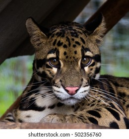 Portrait of clouded leopard, Neofelis nebulosa